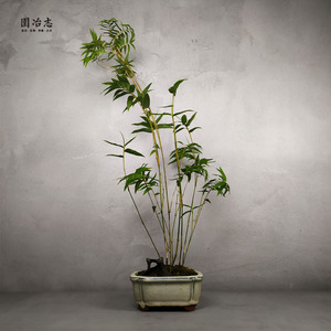 Yuan Yezhi Japanese bamboo bamboo rice bamboo anemone bamboo bonsai indoor small plant clearing table