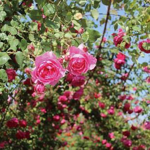 天时双喜 欧月 藤本月季 庭院爬藤 绿植盆栽花卉蔷薇月季花苗