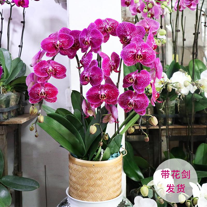 蝴蝶兰盆栽带花苞花剑大花苗花卉植物室内花好养的花四季开花不断