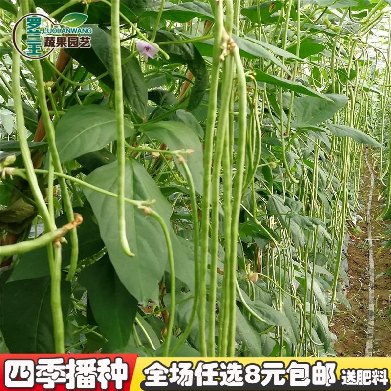 挂满 种子 白玉 豆角 豇豆 四季 高产 蔬菜 果蔬