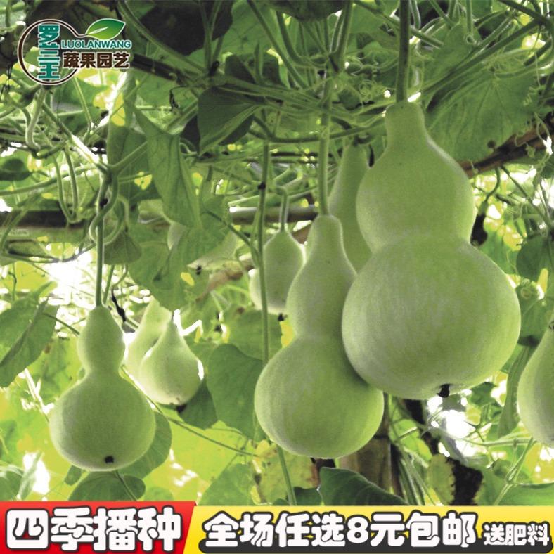 【大葫芦种子】特大飞鸟美人葫芦种子葫芦籽庭院盆栽种植蔬菜种子