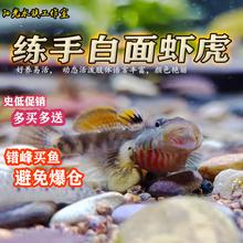 练手虾虎鱼 稀有原生鱼  白zu11虾虎鱼li黄唇淡水鱼