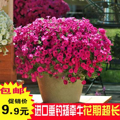 点击查看商品:进口垂吊矮牵牛种子 四季播 春播 花种子 室内阳台盆栽易种 花籽