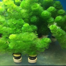 活体 鱼缸造景水草淡水植物有ge11类后景xe养观赏草