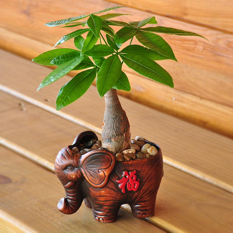发财树绿萝文竹榕树袖珍椰子水培植物办公室内客厅绿植花卉盆栽景