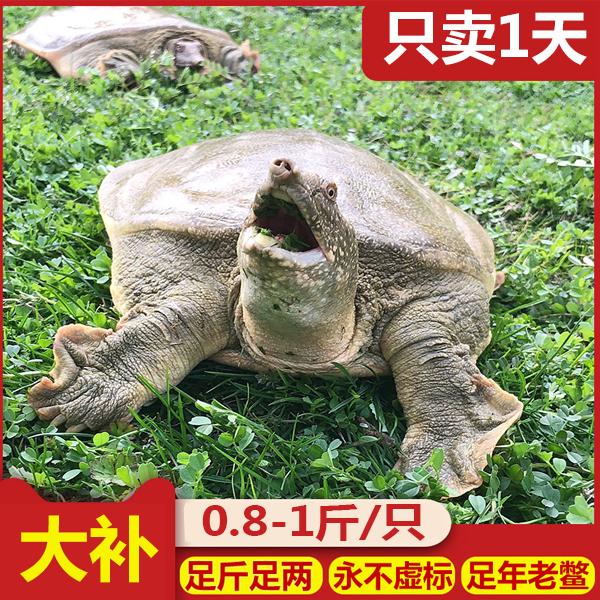 甲鱼活海鲜活生态水产生鲜中华土老鳖外塘团鱼水鱼包活王八苗