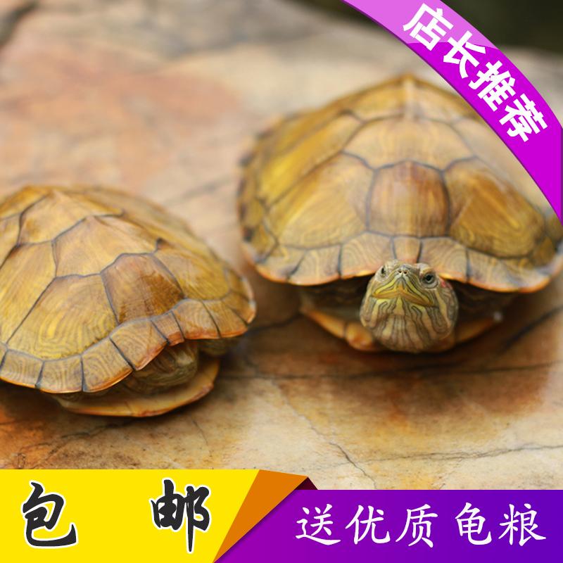 网红小乌龟活体宠物龟炫彩色中华草龟苗地图彩龟鳄龟活物巴西水龟