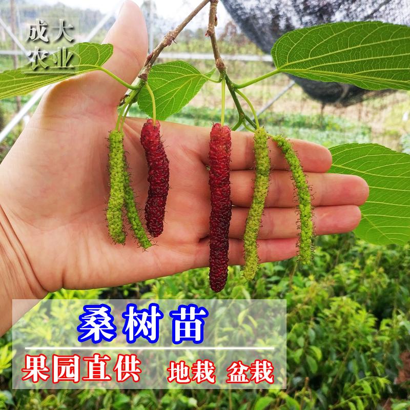 桑葚果树苗正宗嫁接台湾四季长果桑树苗当年结果南北方种植盆栽
