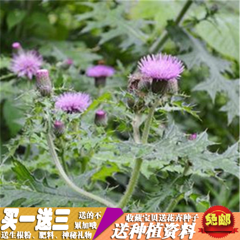 蒲公英 婆婆丁 野生药用 野菜 阳台庭院蔬菜四季栽培種子