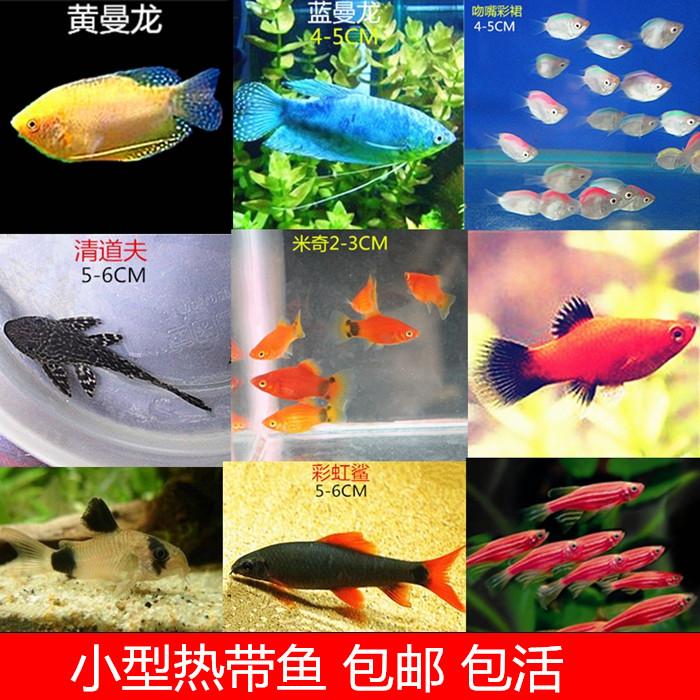 小型热带鱼观赏鱼活体斑马鱼红箭彩群鱼曼龙鱼清道夫鼠鱼米奇活鱼