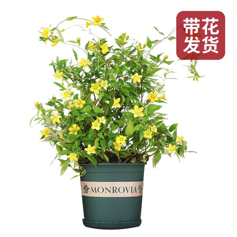 法国香水藤茉莉花苗盆栽带包中国香水腾花黄茉莉花爬藤蔓植物耐寒