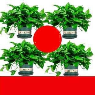 绿萝盆栽室内植物吸甲醛进化空气水培绿植懒人长藤大绿箩花卉2