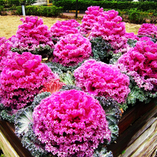 羽衣甘蓝种籽观赏食ku6特菜蔬菜rp丹花园春秋季阳台盆栽菜籽