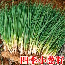 (小)葱种子(小)葱籽种子四3m7阳台种菜ja盆栽葱种籽(小)香葱葱种头