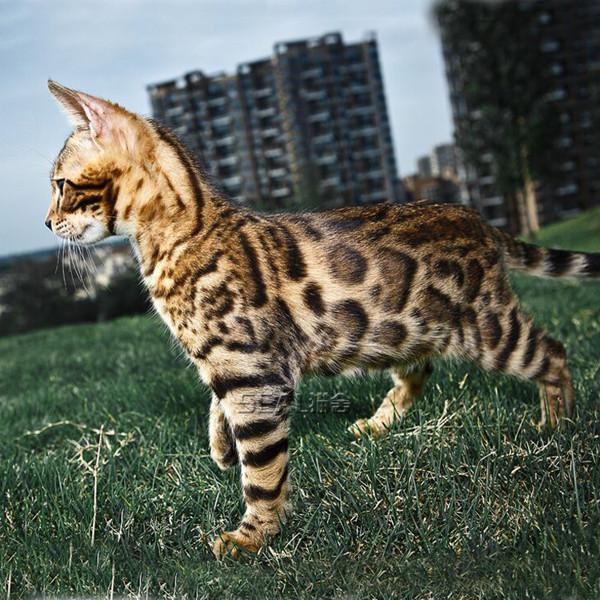 孟加拉豹猫幼仔纯种雪豹活体热带草原猫咪活物宠物猫幼崽小猫出售