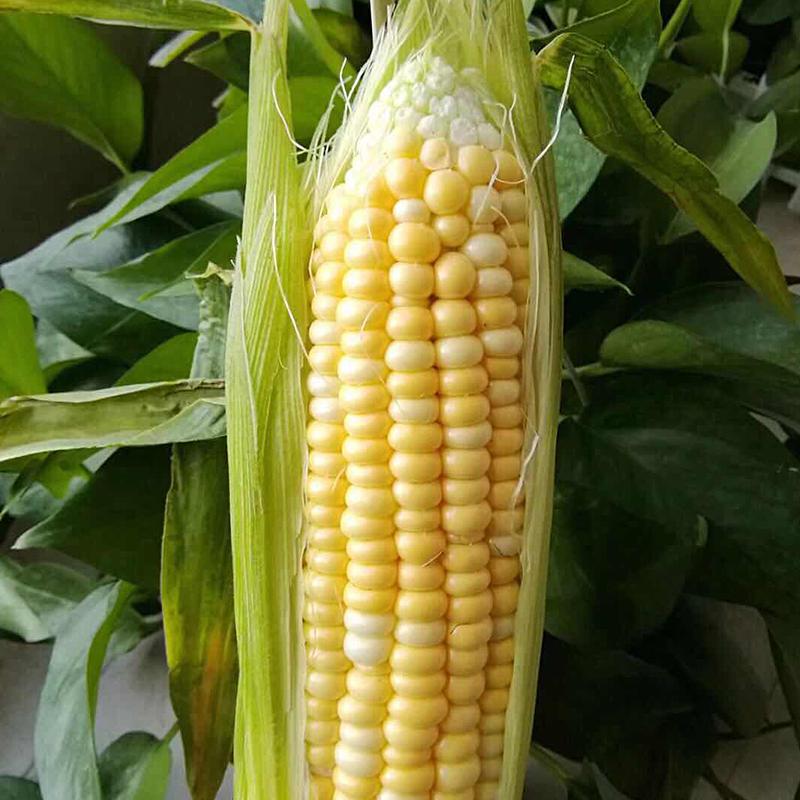 云南特产新鲜水果玉米带壳玉米棒新鲜水果玉米 5斤装