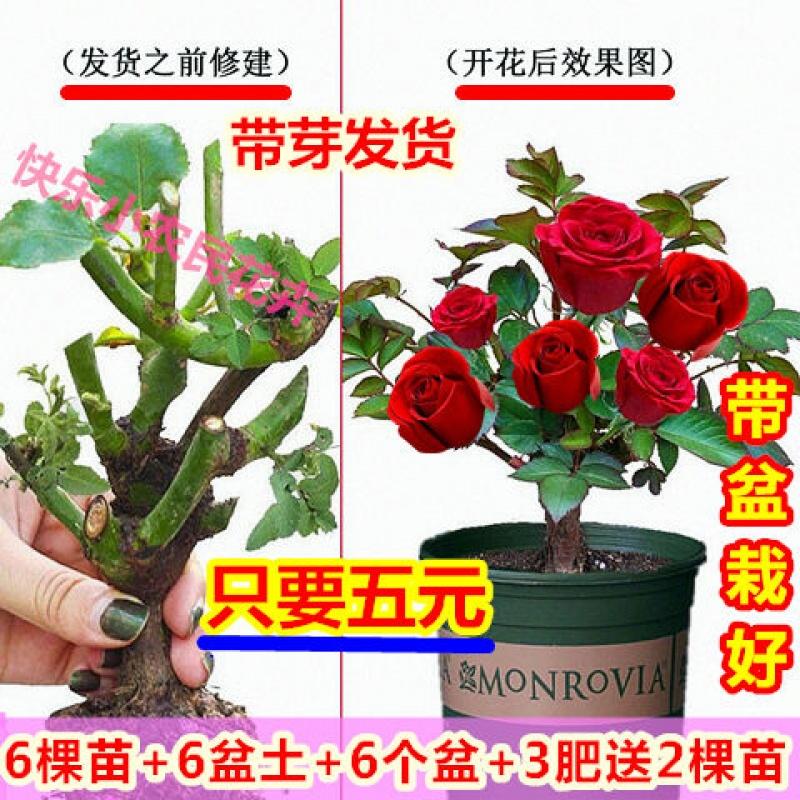 嫁接玫瑰花苗四季开花【4棵花苗+4盆玫瑰土+4盆】