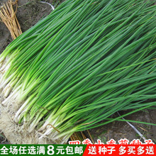 庭院阳台 四季(小)香葱种子 jx10栽(小)葱cp四季播易种