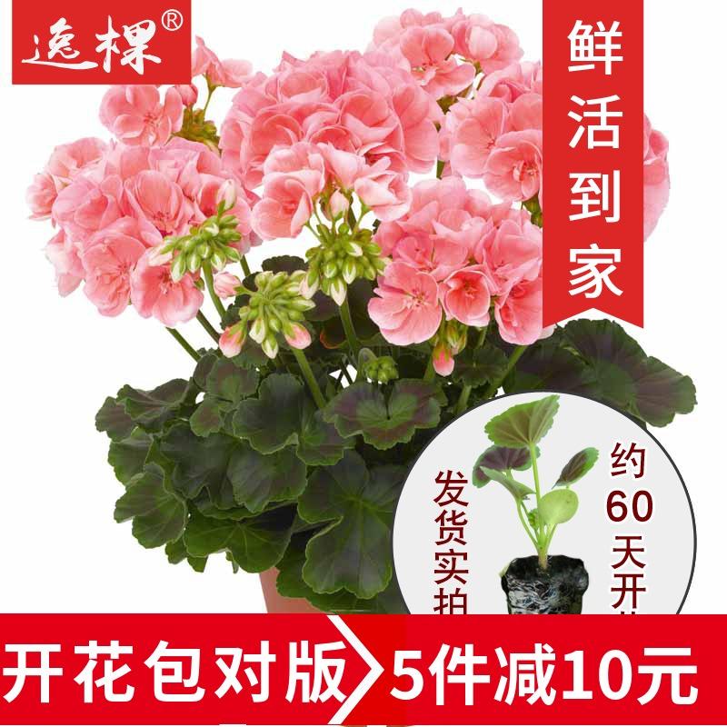 天竺葵 花苗 种子 苗小苗 进口 四季 开花 阳台