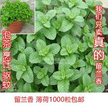 薄荷种子苗 香ab4种子柠檬im薄荷种子食用薄荷盆栽 蔬果花种
