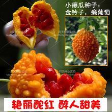 水果赖 癞 金铃mo5种子 (小)ng 金癞瓜种子