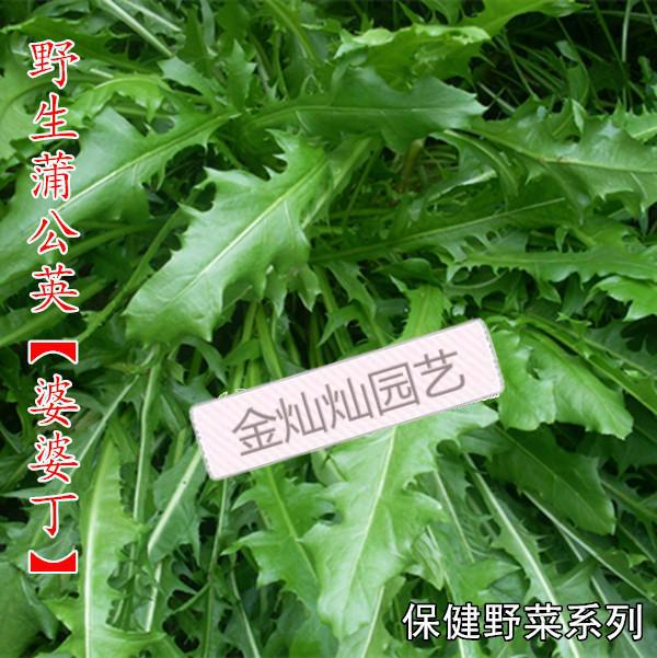 【野生蒲公英种子】婆婆丁 纯野生药用特菜 野菜种子四季栽培新种