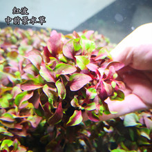 淡水鱼缸活体懒的坨草ab7波/红灯uo茎类红色新手入门