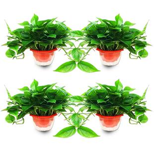 绿萝盆栽室内吸除甲醛绿植富贵竹发财树水培养植物花卉吊兰大绿箩