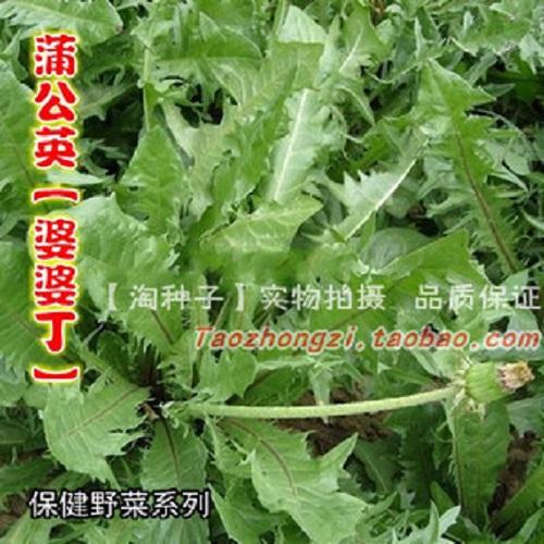 【野生蒲公英锺子】婆婆丁 纯野生药用特菜 野菜锺子四季栽培新种