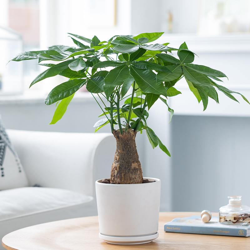 发财树盆栽树桩招财花卉绿植物室内四季常青客厅办公室大号金钱树