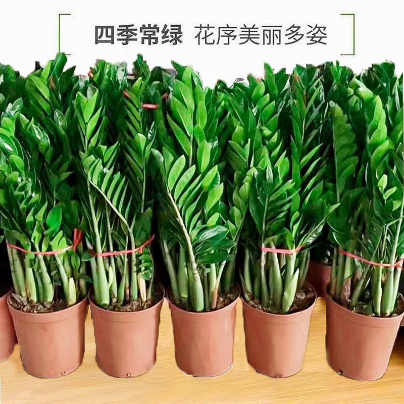金钱树盆栽植物室内花卉客厅四季常青好养绿植大摇钱串子小发财树