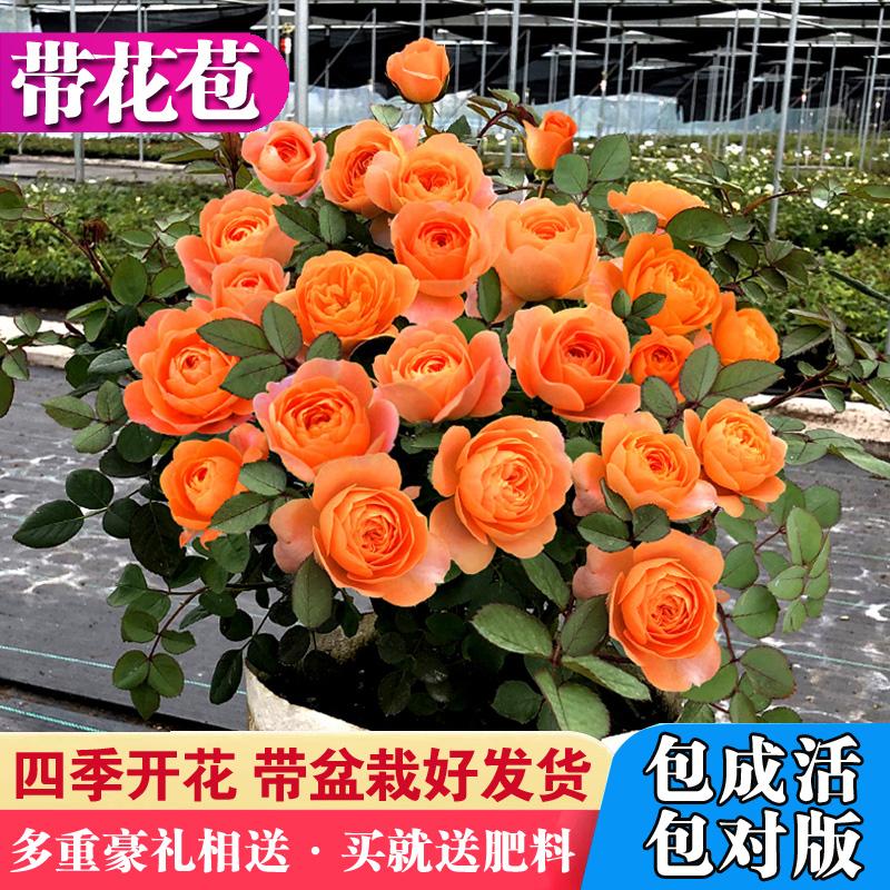 四季开灌木月季大花浓香果汁阳台庭院花卉植物盆栽蔷薇玫瑰花苗