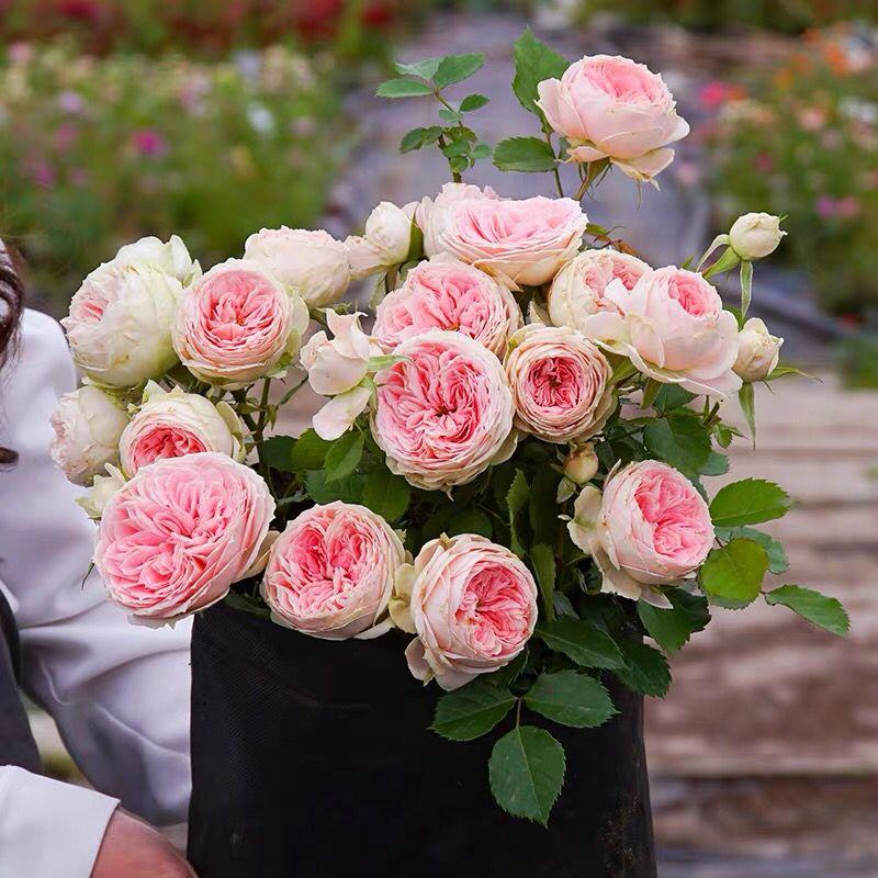 【灌木套餐】3棵50元果汁阳台月季玫瑰四季开花卉盆栽花苗特大花