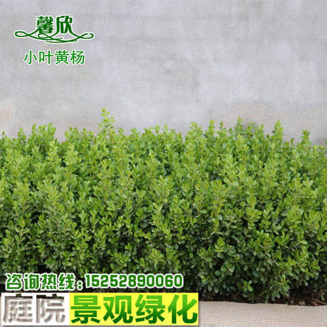 瓜子黄杨小苗小叶黄杨冬青树苗庭院室外盆景篱笆围墙植物常绿灌木