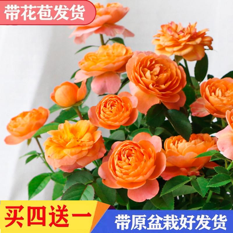 月季花苗大花卉绿植物室内盆栽玫瑰灌木果汁阳台蔷薇爬藤四季开花