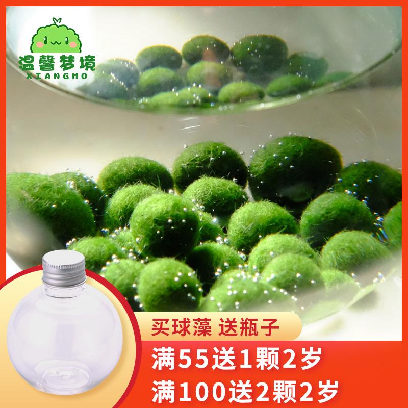 marimo马里莫宠物海藻球微景观生态瓶办公室水培植物绿球藻营养液