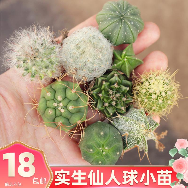仙人球小苗 开花新手好养组合套餐 办公室花卉盆栽迷你实生仙人掌