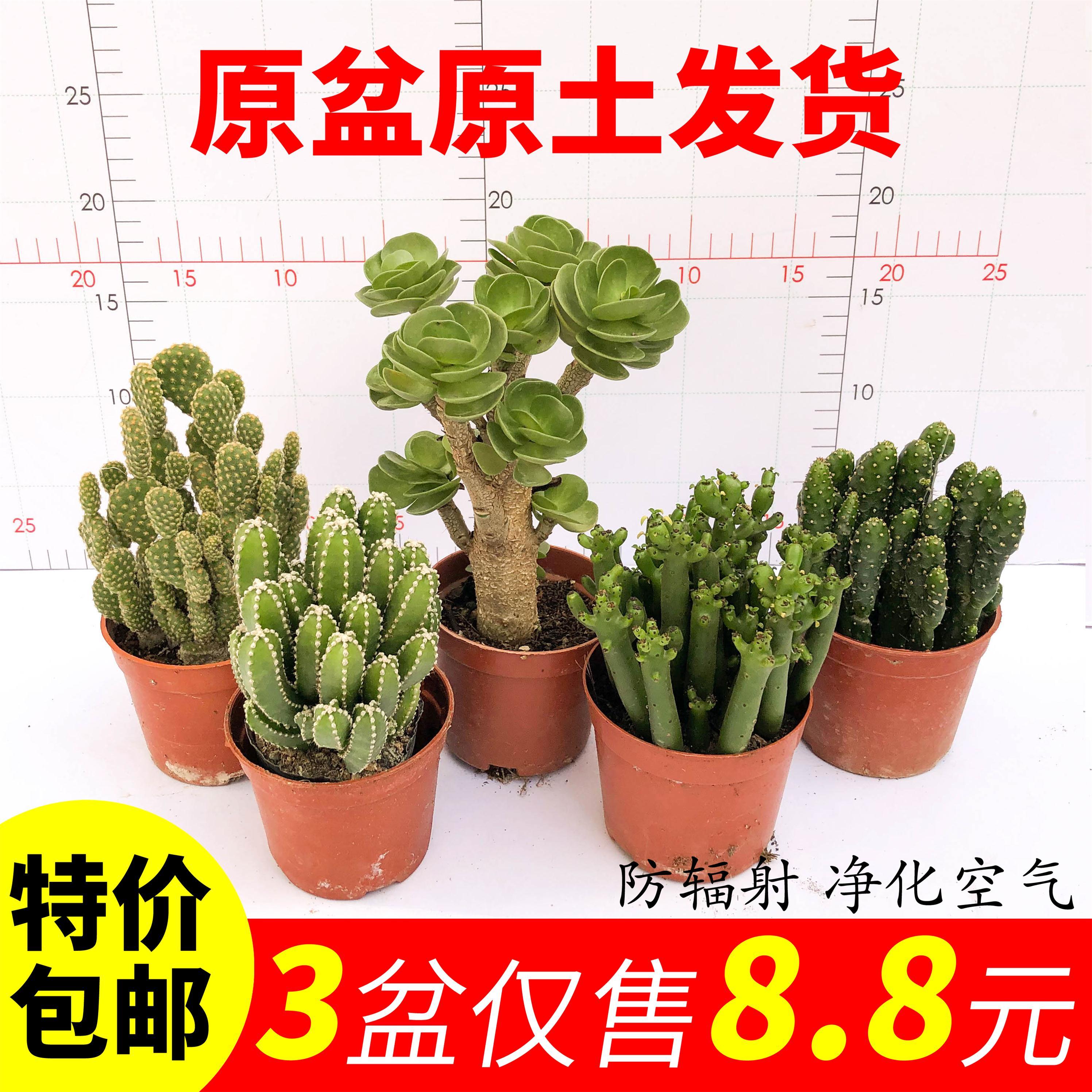 多肉万重山盆栽绿植开花仙人球组合办公室桌面喜阳室内仙人掌植物