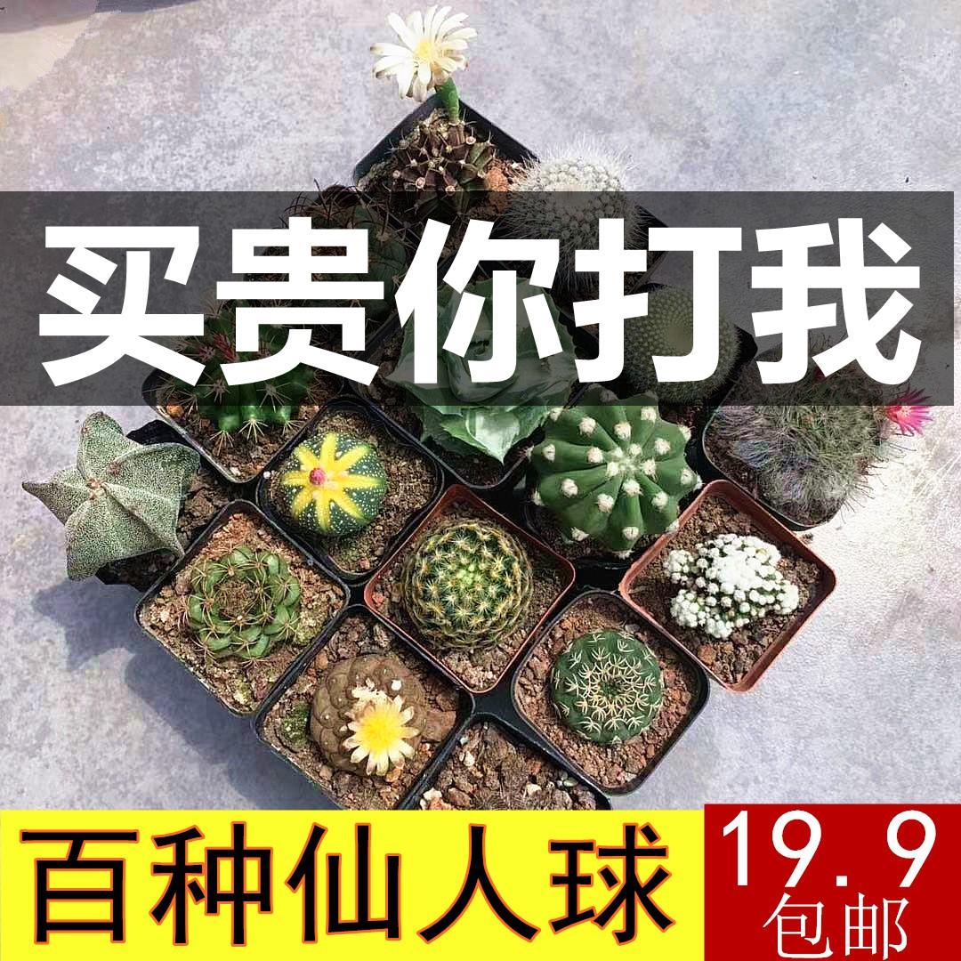 仙人球组合实生无刺仙人掌多肉花卉植物室内花小盆栽精品星兜稀有