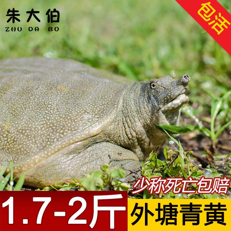 鲜活生态外塘青黄色1.7斤甲鱼滋补水鱼中华老鳖团鱼王八包活
