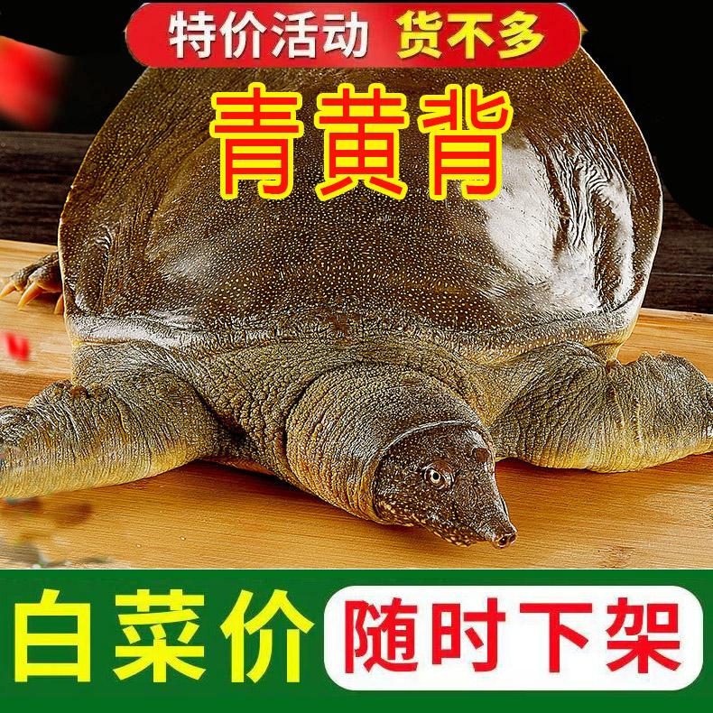 青黄色背公甲鱼生鲜活物甲鱼苗淡水卤味火锅食材水鱼团鱼王八
