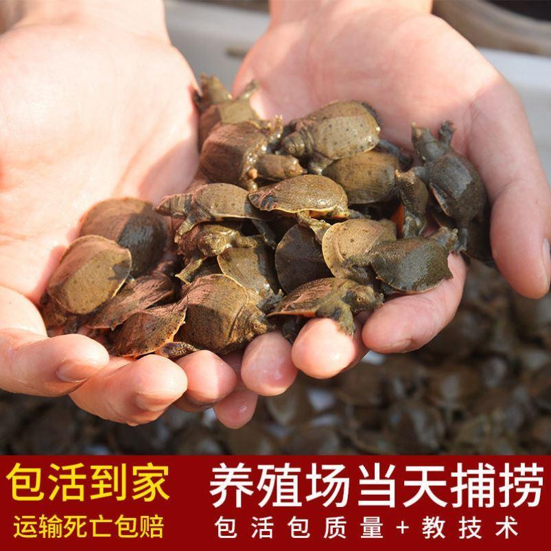 中华鳖10只黄背小甲鱼苗活体水鱼王八团鱼苗家养生态外塘养殖饲料