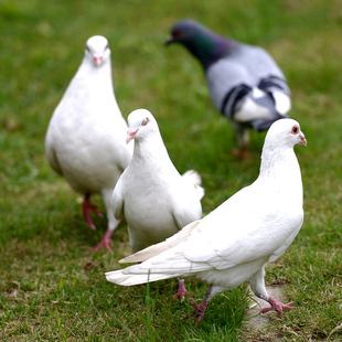 新鲜土鸽子3只包顺丰烤乳鸽农家散养野鸽子新鲜鸽子肉现杀活体