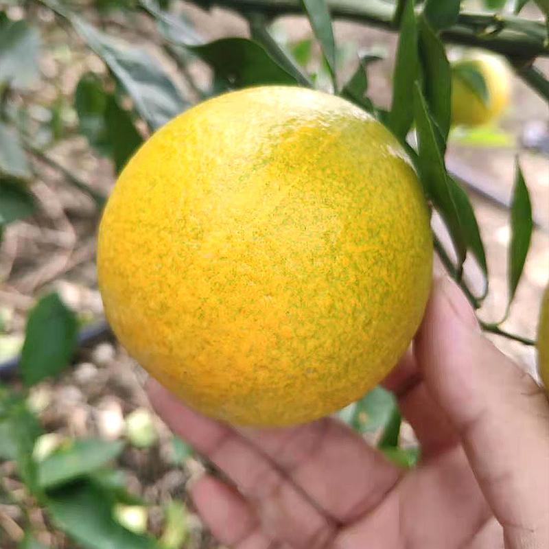 云南冰糖橙脐橙新鲜水果当季应季果冻橙带整箱7斤橙子甜橙新鲜摘