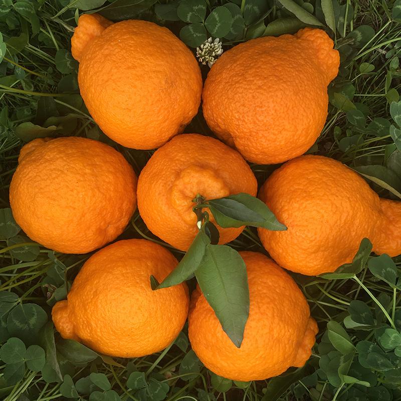 四川不知火丑橘耙耙柑大果丑桔丑八怪新鲜水果不知火丑柑净重2kg
