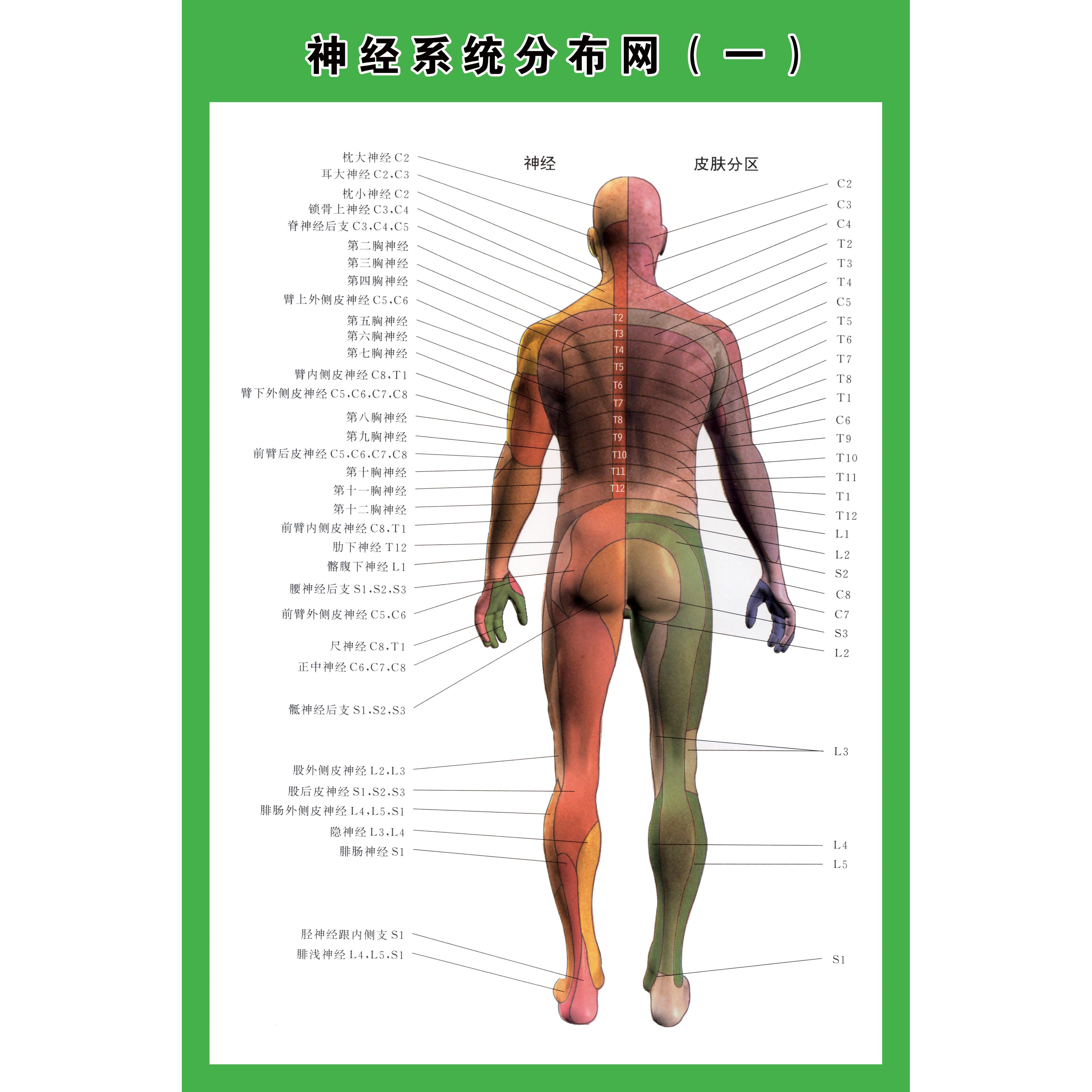 名人书画网 >> 人体器官解剖图   神经系统分布网示意图正反面医学