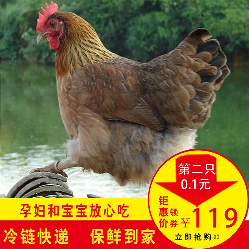 土鸡散养农家新鲜孕妇老母鸡活整鸡第2只0.1元笨鸡走地月子鸡草鸡