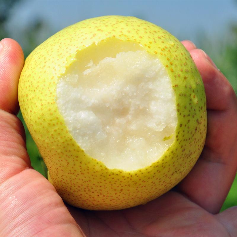 百年梨树砀山梨子10斤新鲜水果白酥梨皇冠梨青梨整箱包邮