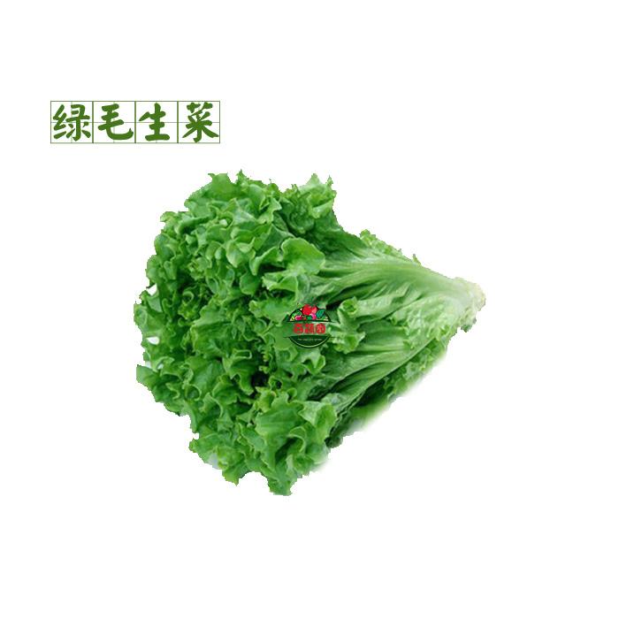 新鲜蔬菜 散叶 绿毛生菜 花叶生菜 绿珊瑚 健身沙拉菜图片
