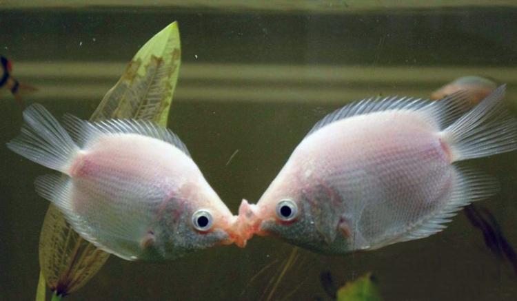 观赏鱼活体鱼接吻鱼亲吻鱼亲亲鱼吻嘴热带观赏灯科鱼草缸混养鱼图片